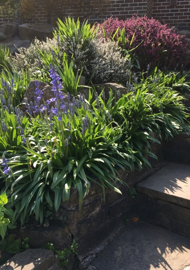 Crocosmia and Bluebells growing through everything!